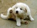 Kuvasz puppy 1