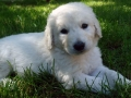 Kuvasz puppy 2