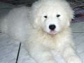 Kuvasz puppy 3