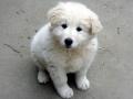 Kuvasz puppy 4