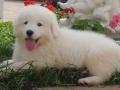 Kuvasz puppy 5