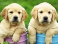 Labrador Retriever puppies 1