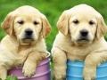 Labrador Retriever puppies 1