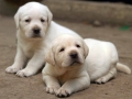 Labrador Retriever puppies 2