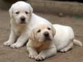 Labrador Retriever puppies 2