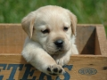 Labrador Retriever puppies 3