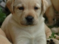 Labrador Retriever puppies 4