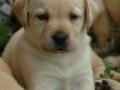 Labrador Retriever puppies 4