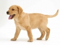 Labrador Retriever puppies 5
