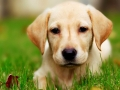 Labrador Retriever puppies 6