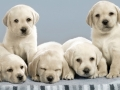 Labrador Retriever puppies 7