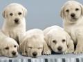 Labrador Retriever puppies 7