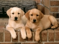 Labrador Retriever puppies 8