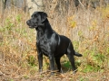 black Labrador Retriever 2