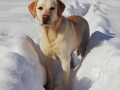yellow Labrador Retriever snow 3
