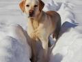 yellow Labrador Retriever snow 3