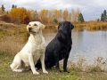 yellow black Labrador Retriever 6