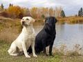 yellow black Labrador Retriever 6