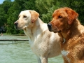 yellow red Labrador Retriever 5