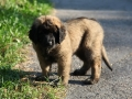 Leonberger-puppy-01