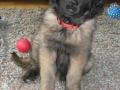 Leonberger-puppy-02