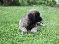 Leonberger-puppy-03