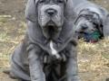 Neapolitan Mastiff puppy 2
