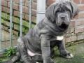 Neapolitan Mastiff puppy 4