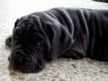 Neapolitan Mastiff puppy 5