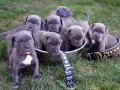 Neapolitan Mastiff puppy 7