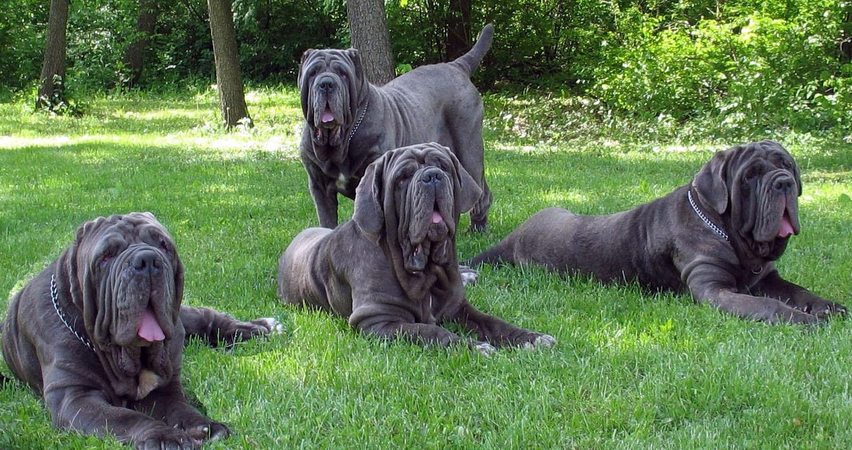 Neapolitan Mastiff - All Big Dog Breeds