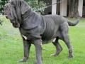 Neapolitan Mastiff 3