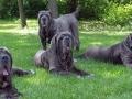 Neapolitan Mastiff 4