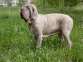 Adult Neapolitan Mastiff Is Standing On A Green Meadow.