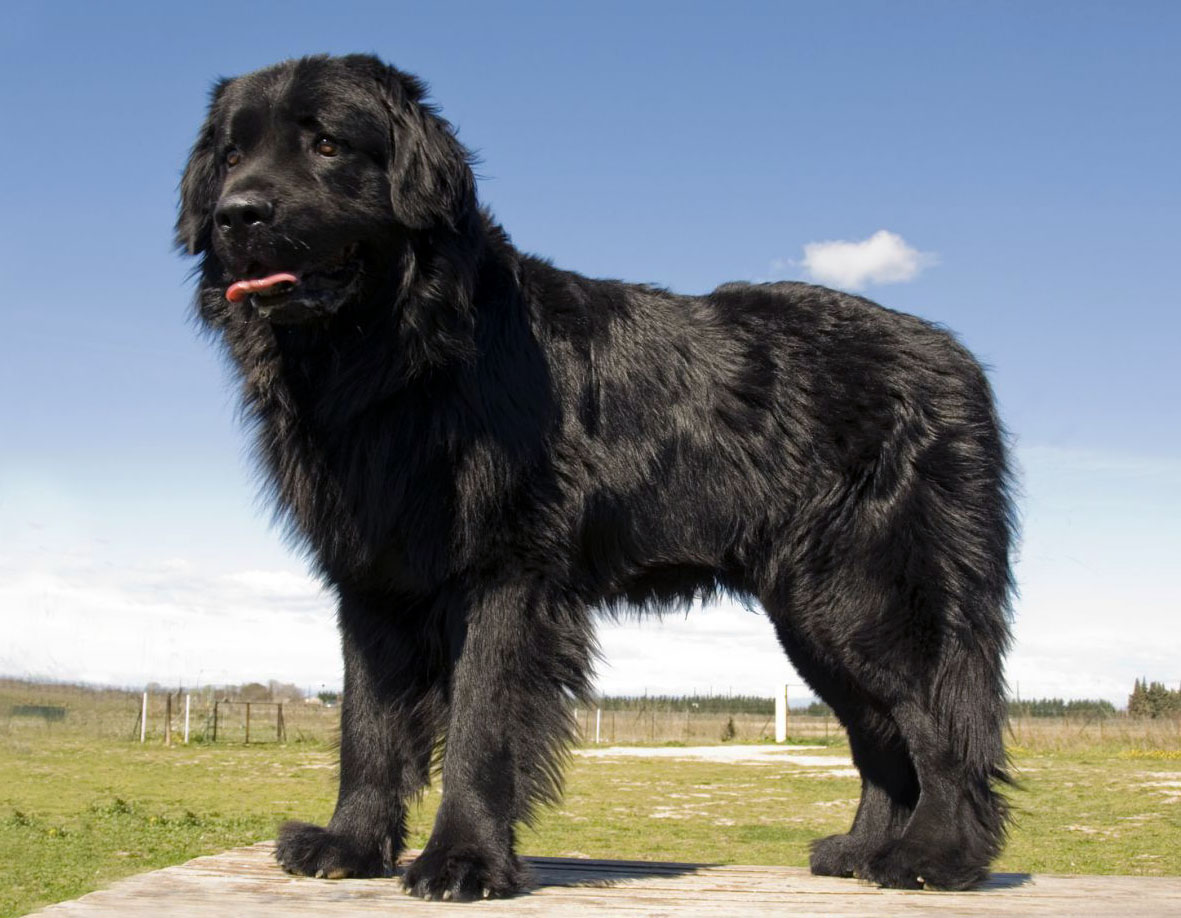 Dogs With Temperament Like Newfoundland