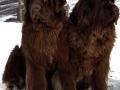Newfoundland Dog 2