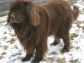 Newfoundland Dog 4