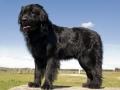 Newfoundland Dog 5