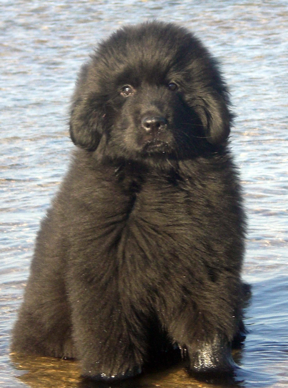 Newfoundland Dog All Big Dog Breeds