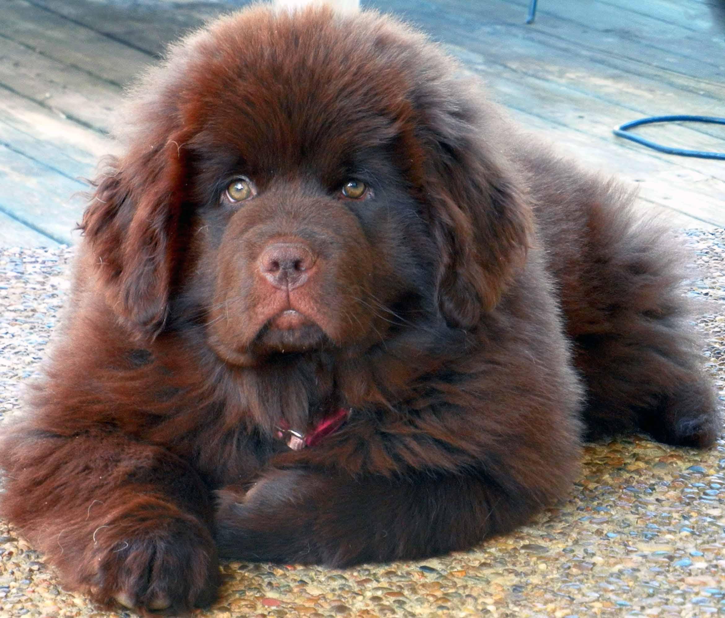 Large Dog Breed Newfoundland Breed Dogs Spinningpetsyarn