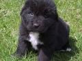 Newfoundland puppy 1