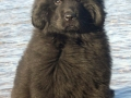 Newfoundland puppy 2