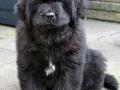 Newfoundland puppy 3
