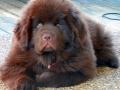 Newfoundland puppy 4