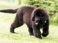 Beautiful Newfoundland Puppy On The Grass In The Garden, Shallow Depth Of Field