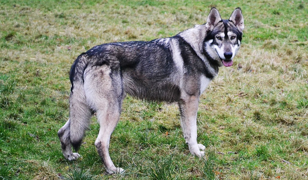 Northern Inuit Dog - All Big Dog Breeds