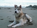 northern-inuit-dog-on-the-beach-wallpaper.jpg