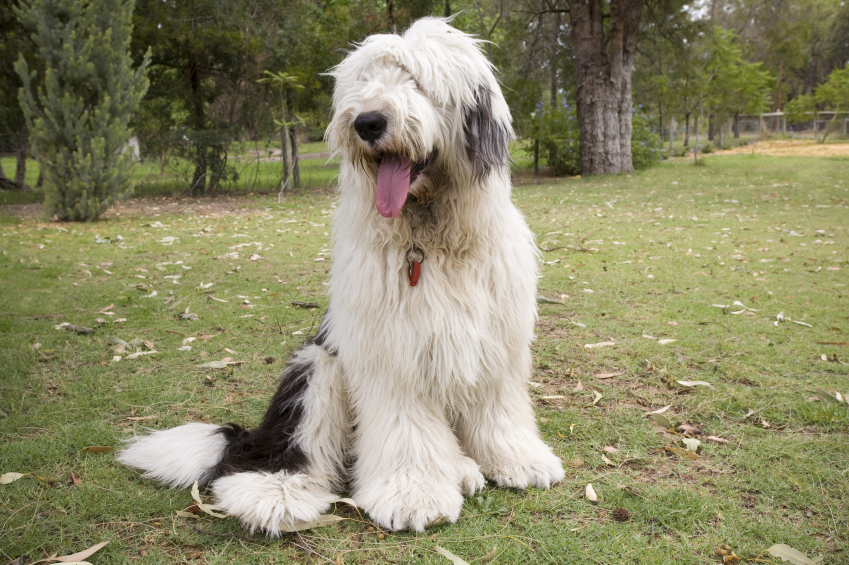 Old english sheepdog big dogs big dog breeds types of big dogs