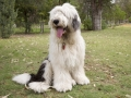 Old English Sheepdog 3