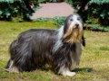 Old English Sheepdog looks aside. Bobtail stands on the grass.